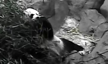 Live panda stream National Zoo Smithsonian